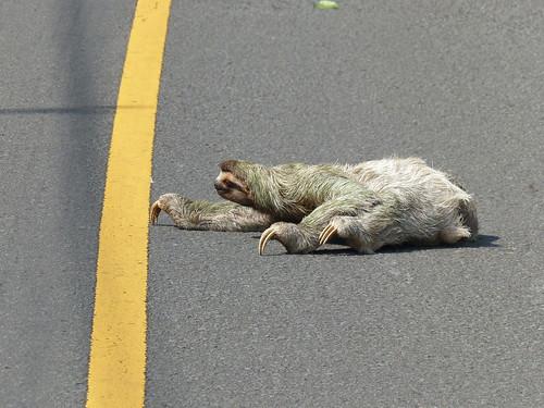 road hairy yellow paint crossing slow wildlife stretch sloth panama asphalt colon centerline achiote threetoed variegatus bradypus