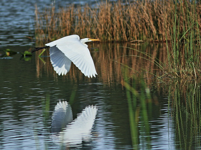 Great Egret in flight 2-20160109