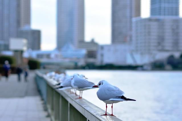 black-headed gull_01