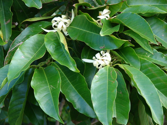 starr-070320-5725-Michelia_x_alba-flowers_and_leaves-Sun_Yat_Sen_Park_Keokea-Maui