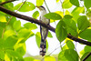 Yellow-billed Cuckoo - Photo (c) Melissa McMasters, some rights reserved (CC BY)