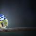 blue tit by Iain Lawrie