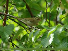 Booted Warbler (Iduna caligata)