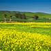 mustard greens flower field by Xiang&Jie