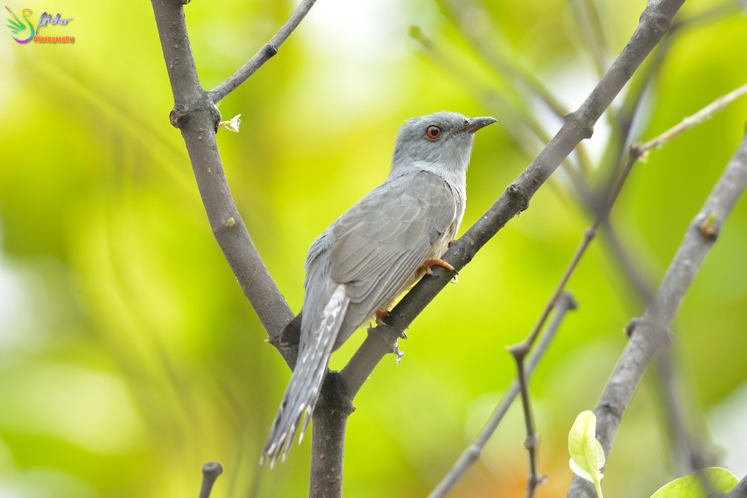 Plaintive_Cuckoo_1735