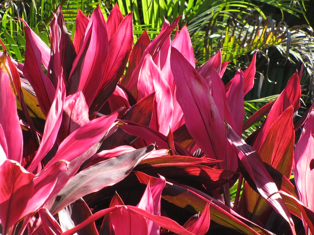 starr-100120-1411-Cordyline_fruticosa-red_leaves-Kihana_Nursery_Kihei-Maui