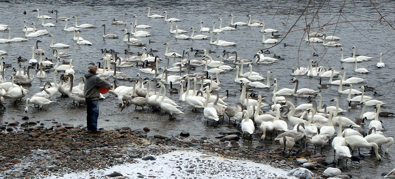 a man holding an orange bucket at the edge of the river, with dozens of swans watching him