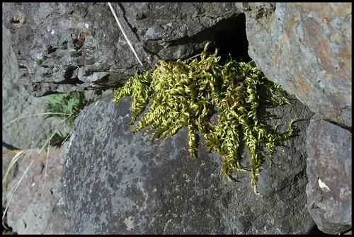 Homalothecium sericeum (1)