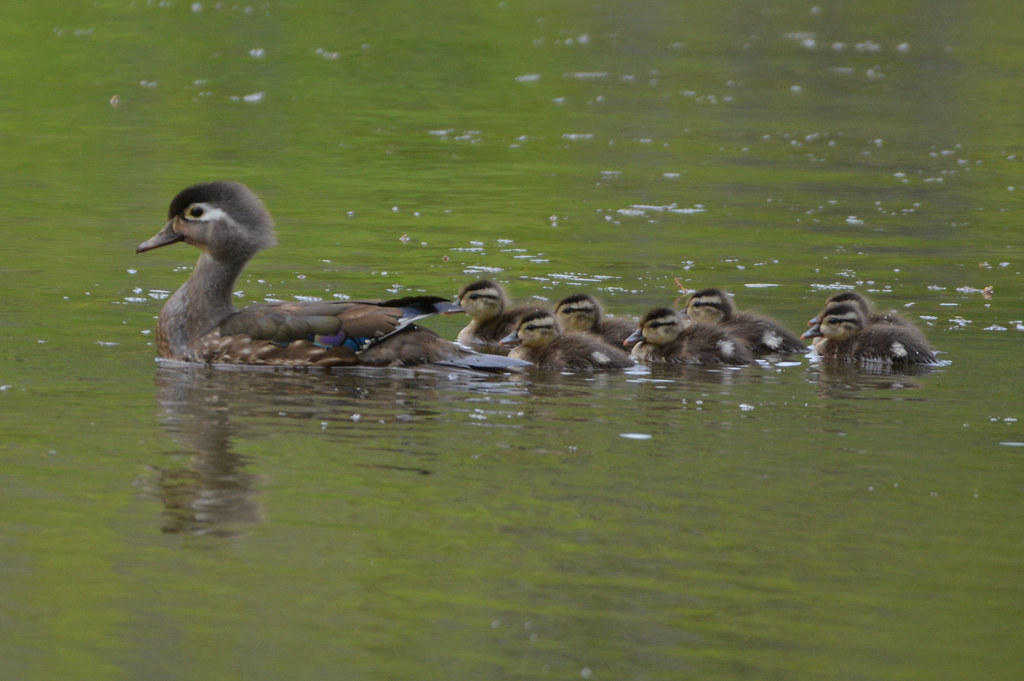 Female Wood Duck with Ducklings