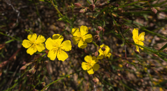 Yellow rockrose (Helianthemum scoparium)