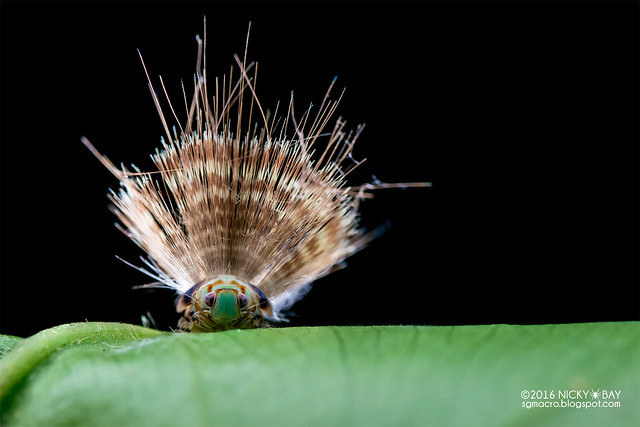 Planthopper nymph (Ricaniidae) - DSC_0180