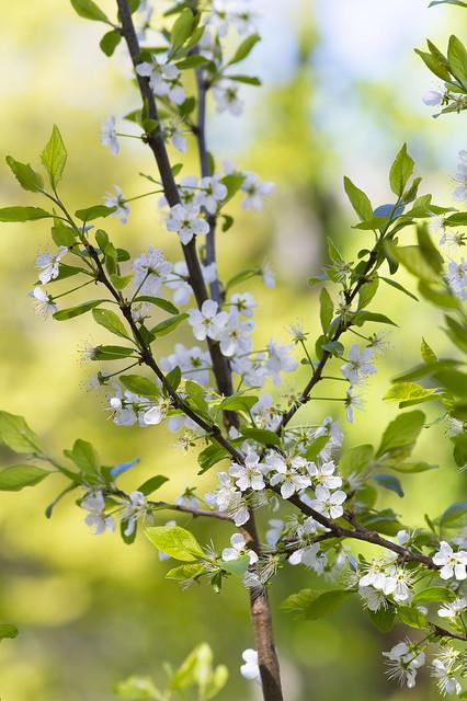 Bloesem in het voorjaar. Spring blossom. 002.