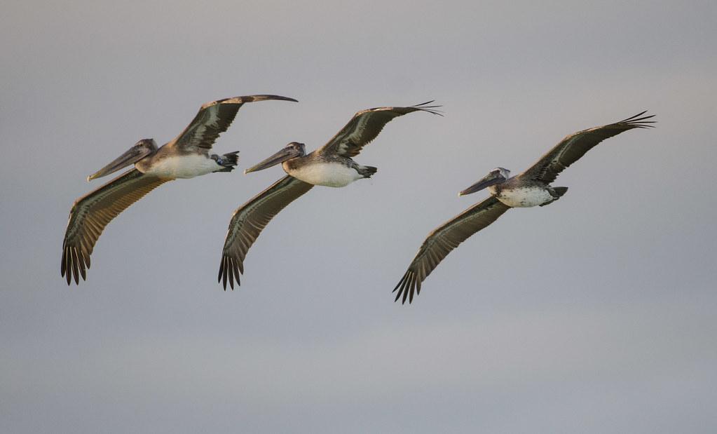 Tres Pelicanos