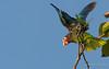 Cuban Parrot (Cuban) - Amazona leucocephala leucocephala