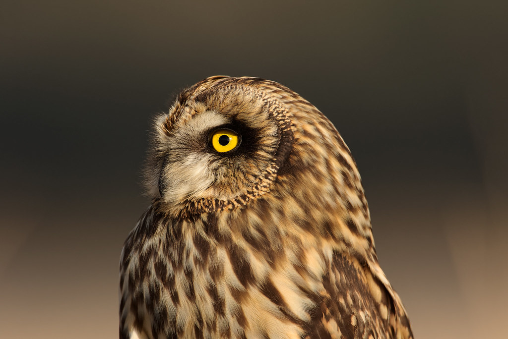 A close-up view of a short-eared owl