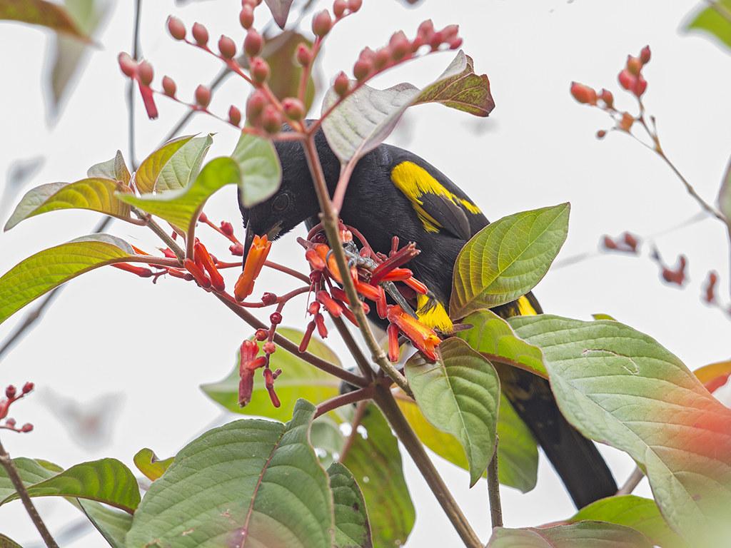 Black-cowled Oriole  Cuba