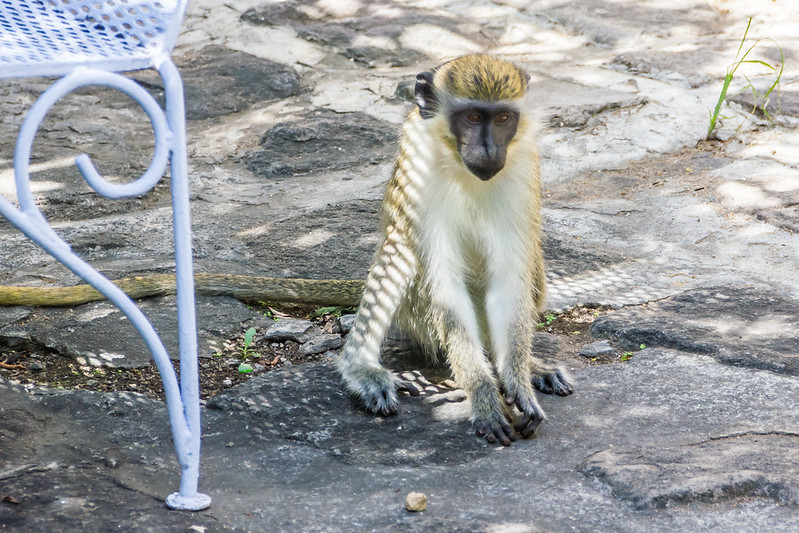 Green Monkey of St Kitts
