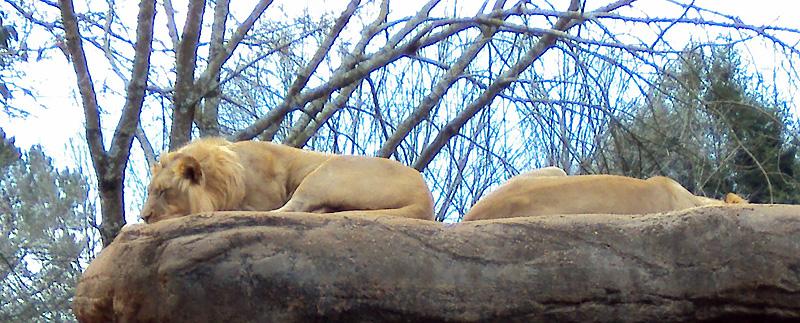 zoo_2016_lion_2