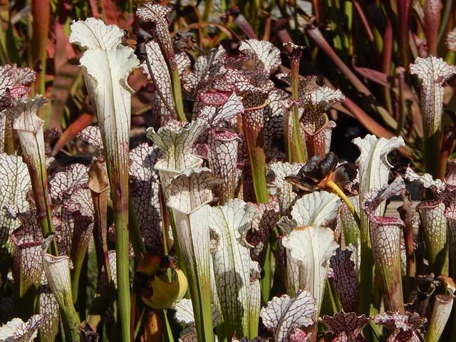 Sarracenia leucophylla var. alba