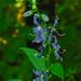 Small photo of American Bellflower (Campanula americana)
