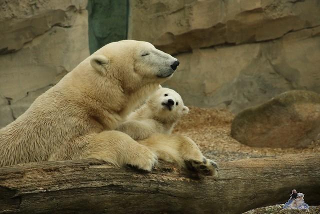 Eisbär Lili im Zoo am Meer Bremerhaven 10.04.2016 Teil 1 103