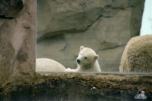 Eisbär Lili im Zoo am Meer Bremerhaven 10.04.2016 Teil 1 02