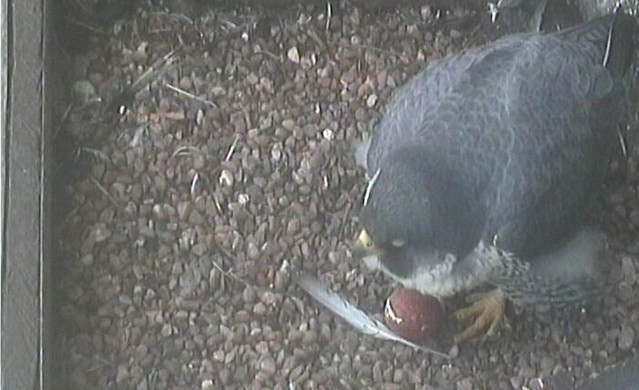 Peregrine Egg 1 28th March (2.15pm)