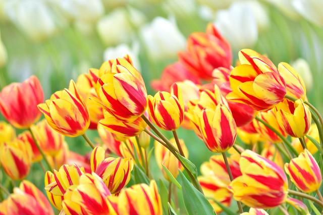 チューリップ Tulip