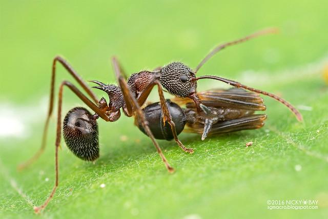 Ant (Dolichoderus sp.) - DSC_8126