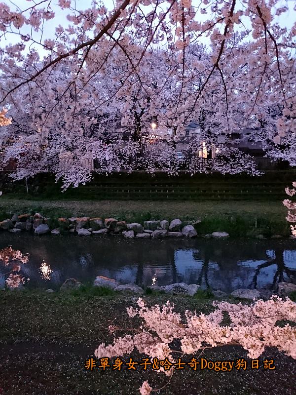 日本東京深大寺溫泉周邊賞櫻花26