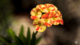 Two petals flowers (Euphorbia milii)