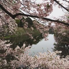 visiting the family grave❤︎  #hikone #shiga #hikonecastle #彦根 #滋賀 #彦根城 #桜 #cherryblossom