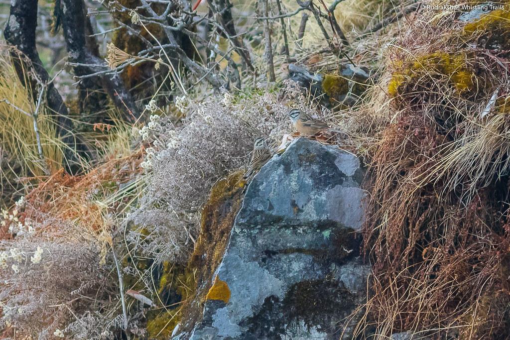 Rock Bunting