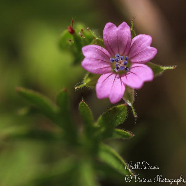 California wild flower series