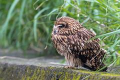 12短耳鴞