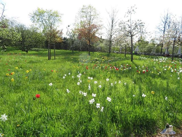 Britzer Garten Tulipan 22.04.2016  01