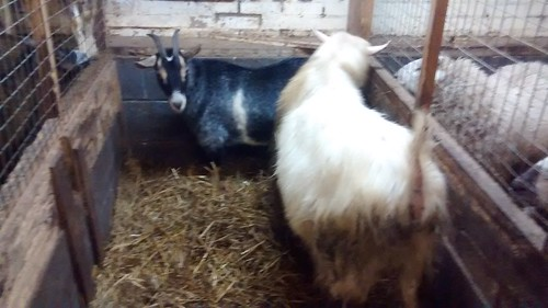 goats nanny and billy Jan 16