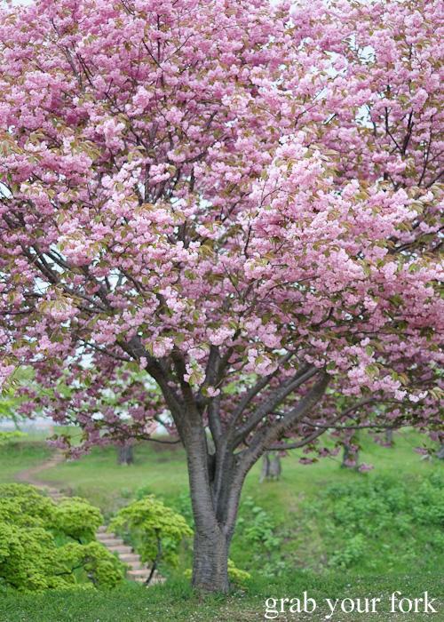 Sakura cherry blossom tree at Fort Goryokaku, Hakodate, Hokkaido