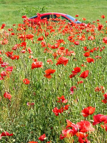 flowers red green nature field car hide poppies puma fordpuma