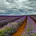 Bridestowe Lavender Farm - Nabowla - Tasmania by glendamaree