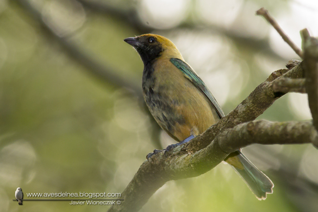 Saira pecho negro (Burnished-buff Tanager) Tangara cayana