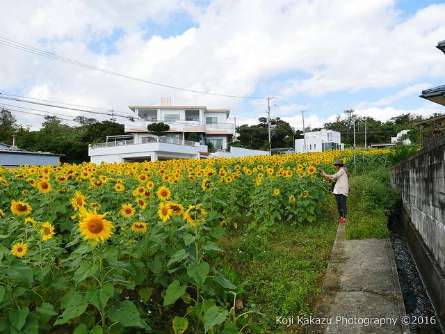 沖縄県北中城村のひまわり-57