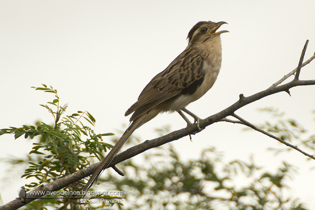 Crespín (Striped Cuckoo) Tapera naevia