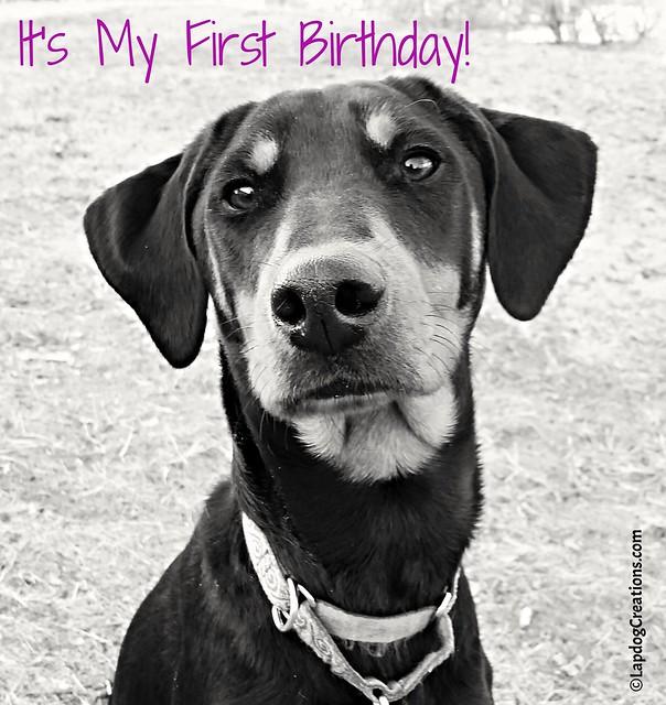 #dobermanpuppy #rescueddog #adoptdontshop #dobermanmix #LapdogCreations ©LapdogCreations