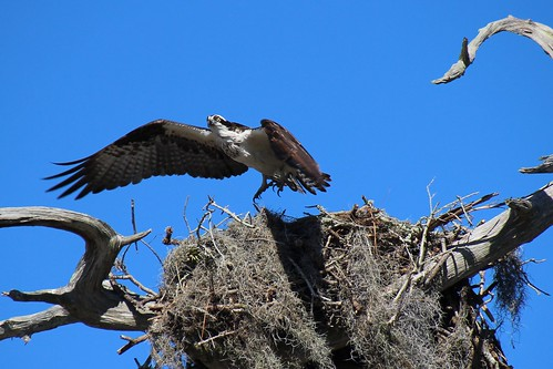 IMG_7014a_Osprey_Leaving_Nest_at_Anclote_Beach