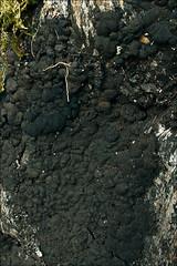 Кречмария обыкновенная (Kretzschmaria deusta)