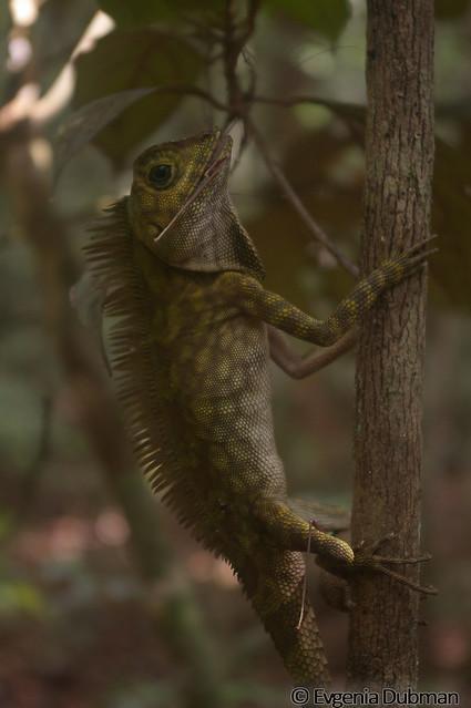 8 - Borneo Anglehead lizard (Gonocephalus borneensis)_ED_wm