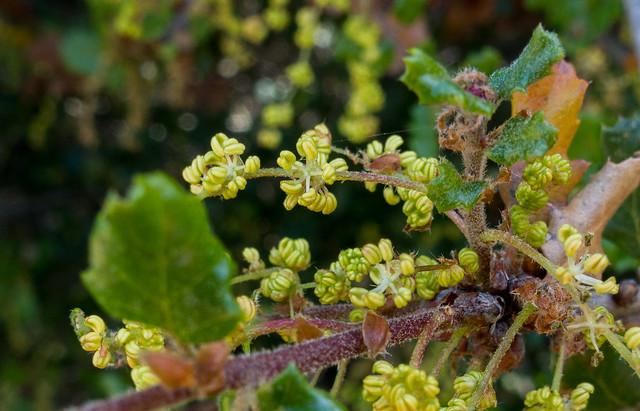 Coast scrub oak (Quercus dumosa)
