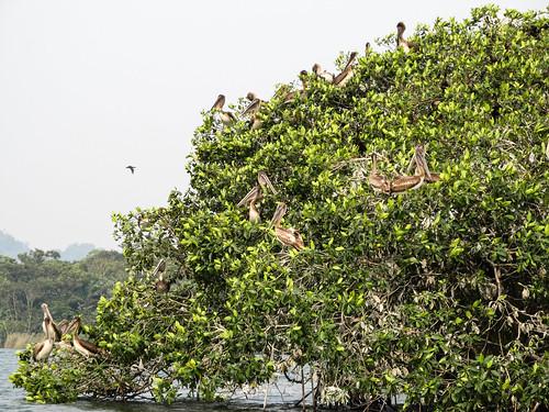Rio Dulce: des pélicans