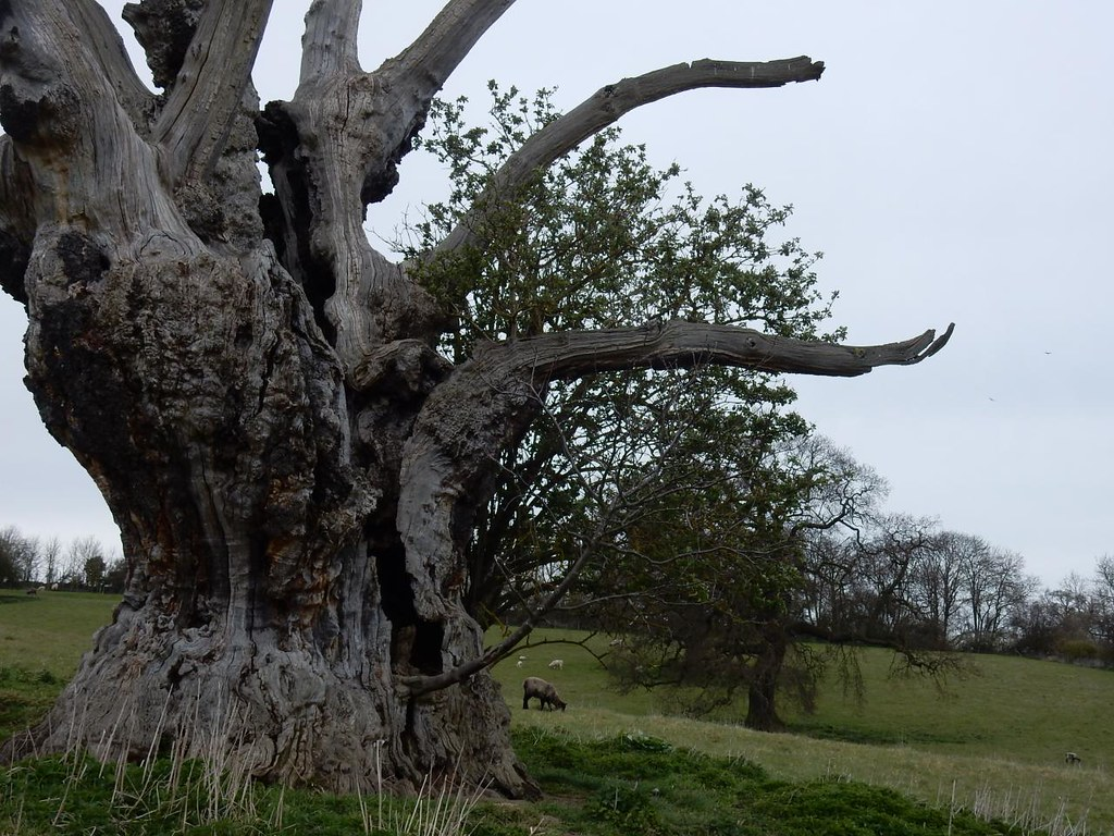 Bunyan's Oak Harlington Circular